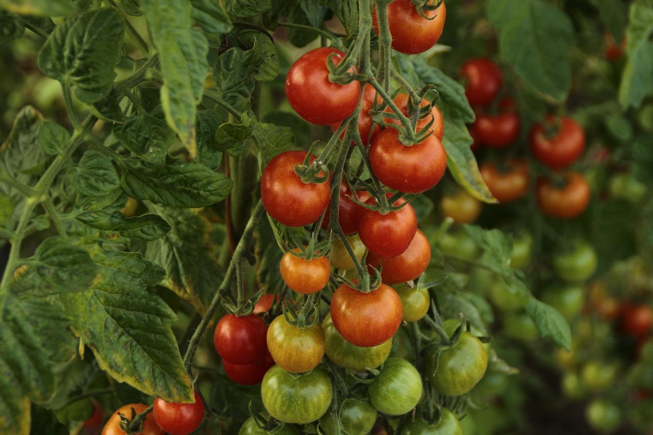 farming tomatoes